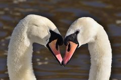 Mute swan cygnus olor. Head shot of two mute swans cygnus olor performing a courting ritual stock photos