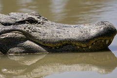 Head shot of a very big Alligator. A close-up head shot of a very big American Alligator Stock Images