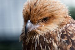Head shot of Whistling Kite Raptor bird. Royalty Free Stock Photos