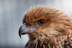 Head shot of Whistling Kite Raptor bird. stock photo