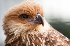 Head shot of Whistling Kite Raptor bird. Royalty Free Stock Images