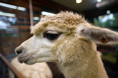Head shot of a white alpaca Stock Images