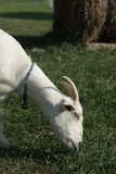 Head shot of white goat eating grass. Natural feeding for goat in the farm Stock Photography