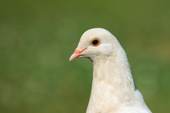 Head Shot of White Pidgeon Stock Photo
