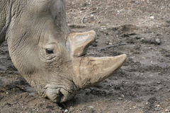 Head shot of White Rhino Royalty Free Stock Photos