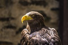 Head shot of White tailed Eagle stock image