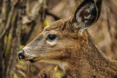 Head Shot Of A Whitetail Deer Odocoileus virginianus  At Five. Whitetail Deer, Odocoileus virginianus, Five Rivers Environmental Center, Delmar, New York Stock Image