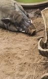 Head shot of Wild male boar rest in farm. Wildlife in natural habitat. stock photography