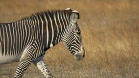 Free Head Shot Wildlife Animal Portrait Of A Single Zebra, Copy Space Stock Image - 171940721