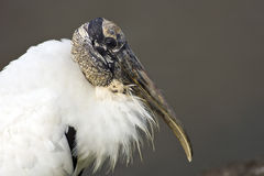 Head shot of a Wood Stork. A Close up head shot of a Wood Stork at rest Stock Photo