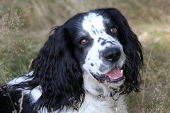 Head shot of a working Cocker Spaniel Royalty Free Stock Images