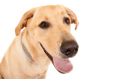 Head shot of yellow labrador Royalty Free Stock Images