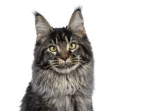 Head shot of young adult ticked Maine Coon cat. Sitting isolated on white background and looking at camera stock photo