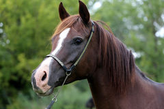 Head shot of a young arabian mare with long mane Stock Image