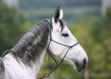 Head shot of a young lipizzaner horse against green natural back Stock Image