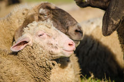 A head shot of young sheep standing by parents - Close up Royalty Free Stock Photos