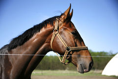 Head shot of a young stallion in the corral against blue sky Royalty Free Stock Photos