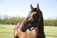 Head shot of a young stallion in the corral Royalty Free Stock Images