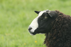 A head shot of a Zwartbles Sheep Ovis aries on Orkney, Scotland Stock Images