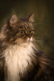 Mainecoon Cat. Head shotof a tabby mainecoon cat on a moss color background, vertical studuio shot Stock Photography