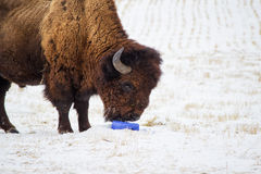 Head and shoulder of a buffalo. Licking a salt block on snow covered pasture Stock Photos