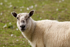 Sheep portrait. Head and shoulder of  sheep  - UK Lake district area Stock Photography