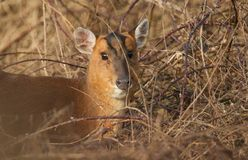 A head and shoulder shot of a female Muntjac Deer Muntiacus reevesi feeding at the edge of a forest on a sunny winter d. A head and shoulder shot of a stunning Stock Photos