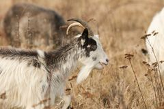 A head and shoulder shot of Goat Capra aegagrus hircus grazing in rough pasture. A head and shoulder shot of a stunning Goat Capra aegagrus hircus grazing in Stock Photography