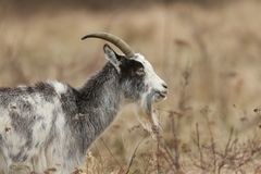 A head and shoulder shot of Goat Capra aegagrus hircus grazing in rough pasture. A head and shoulder shot of stunning Goat Capra aegagrus hircus grazing in Stock Photo