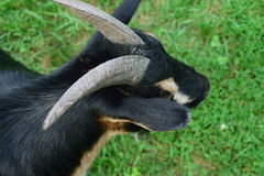 Head and Shoulder View of Horned Dwarf Goat. Nigerian dwarf goat in summer royalty free stock photography