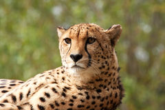 Head and shoulders of an Amur leopard lounging Stock Photography