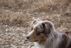 Brown and White Australian Shepherd Facing Left with Mouth Close. The head and shoulders of a brown and white Australian Shepherd from above. Shallow depth of Stock Image