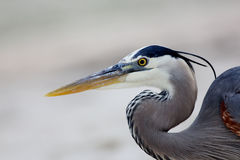 Head and shoulders of a Great Blue Heron Royalty Free Stock Photo