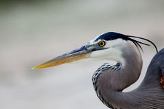 Head and shoulders of a Great Blue Heron Stock Photos
