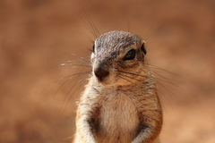 Head and shoulders image of a ground squirrel stock photography