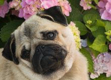 Cute Pug Puppy Tilting Head with Pink Hydrangeas in Background. Head and shoulders portrait of Cute Pug Puppy Tilting Head and looking away from viewer with Pink Stock Photography