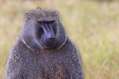 Head and Shoulders Portrait of Olive, or Savanna, Baboon Male Stock Image