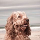 Head and shoulders portrait shot of cute Cavalier King Charles Spaniel crossed with poodle dog Royalty Free Stock Photos