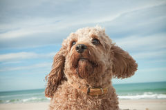 Head and shoulders portrait shot of cute Cavalier King Charles Spaniel crossed with poodle dog Royalty Free Stock Photography