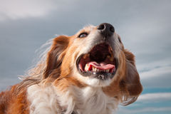 Head and shoulders portrait shot of fluffy red haired collie dog against a grey cloudy sky background Stock Photo