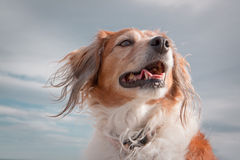 Head and shoulders portrait shot of red haired collie type dog against cloudy sky Royalty Free Stock Photo