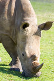 Head and shoulders of a rhinoceros grazing in the Tala Private Game Reserve in South Africa Stock Image