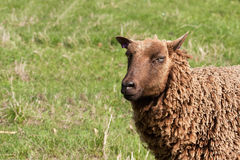 Head and shoulders of Shetland Ewe. Small variety of sheep royalty free stock images
