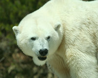 A Head and Shoulders Shot of a Polar Bear Stock Photo