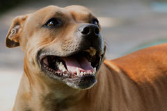 Head and Shoulders Shot of Staffordshire Bull Terr Royalty Free Stock Photo