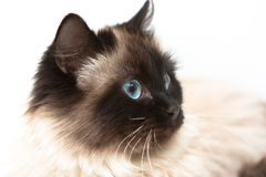 Head siamese cat close up on a white background. Head siamese cat with blue eyes close up on a white background royalty free stock photo