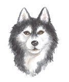 Head of the Siberian husky. Image of a big thoroughbred dog. Watercolor painting Royalty Free Stock Photos