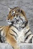 head siberian tiger Arkivfoton