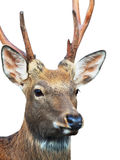Head of Sika deer. (Cervus nippon) also known as the spotted deer Royalty Free Stock Images