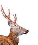 Head of Sika deer over white background. Head of Sika deer (Cervus nippon)  over white background Stock Photo